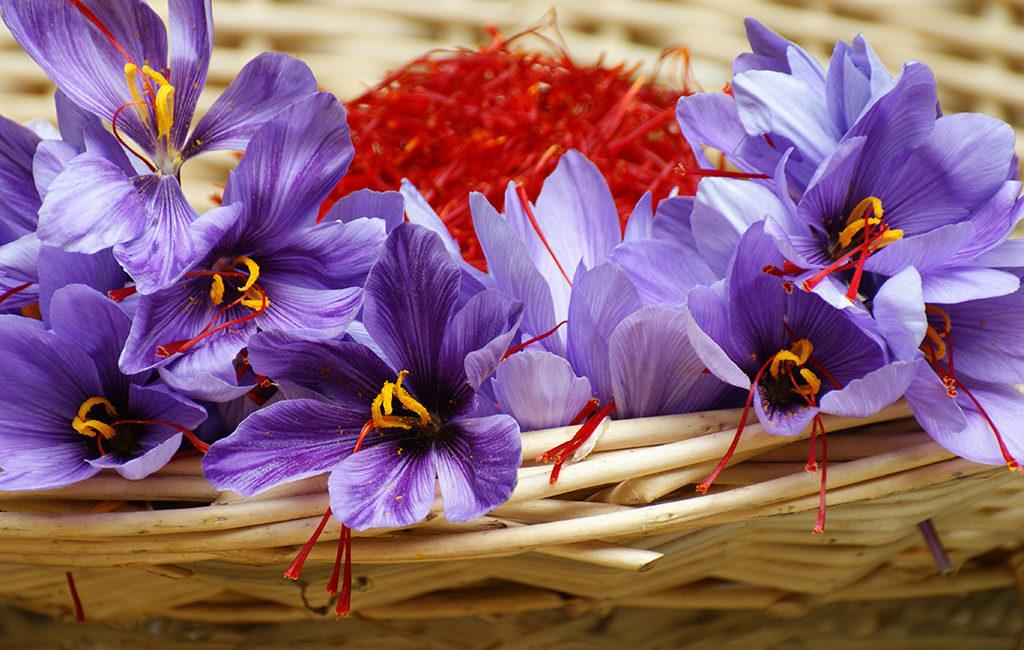 La récolte des fleurs de safran