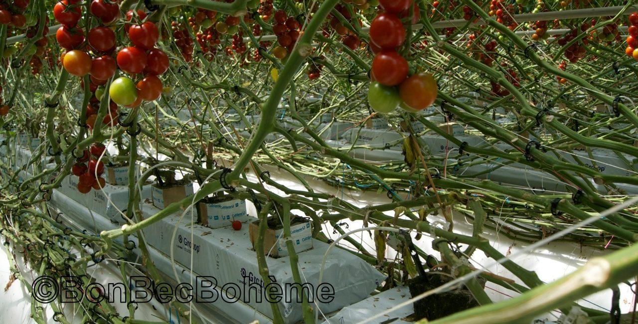 Cultures hors sol cultivés en écos-serres en cultures et agriculture