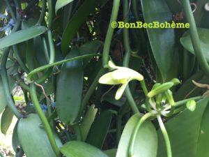 La fleur de vanille est une orchidée
