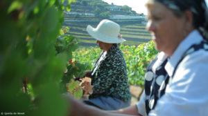 Vendanges dans la vallée du Douro