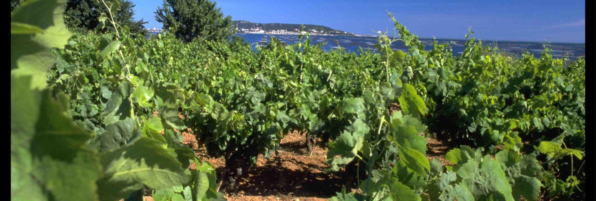 le vignoble de l'appellation picpoul-de-pinet