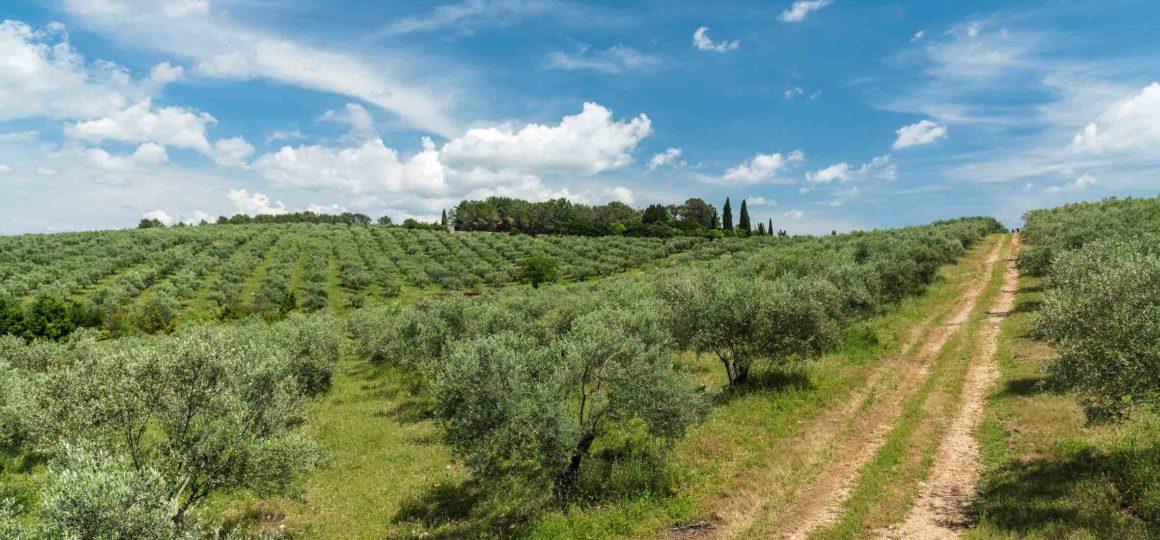 L'oliveraie du domaine de l'Oulivie
